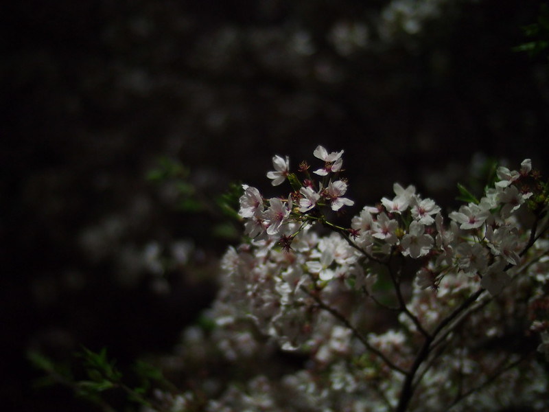 Sakura in the Night
