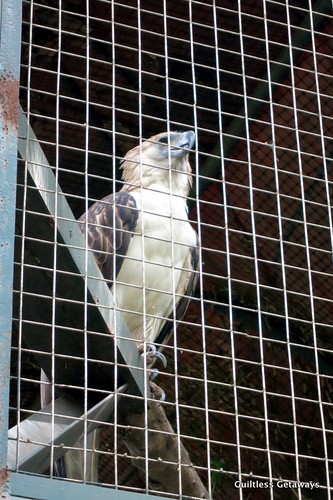 philippine-eagle.jpg