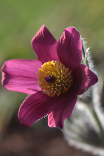 Red Pasque Flower by conniee4 aka Connie Etter