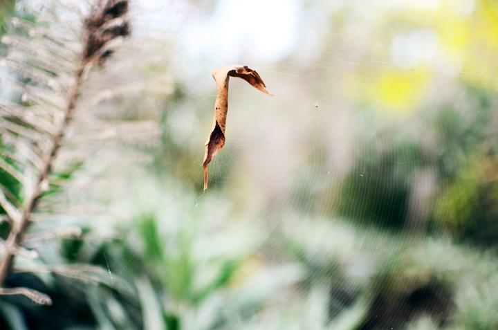 leafy spider
