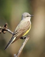 Western Kingbird (Tyrannus verticalis )
