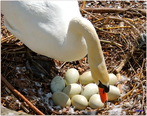 Une future Maman et 10 petits cygnes à naître by Jogabi-Michèle - very busy sorry .....