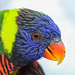 Rainbow Lorikeet Closeup by Jim Frazee