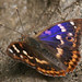 Lesser Purple Emperor (Tom Brereton)