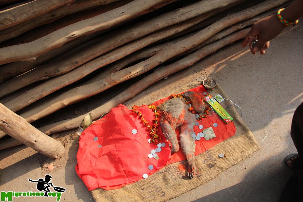 Dead monkey in Varanasi