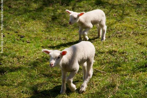 Lammwanderschaft