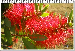 Callistemon citrinus tiene aroma a limòn...Happy Thursday with FLOWERS