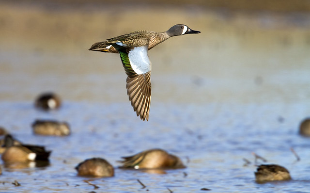 Solo blue-winged teal