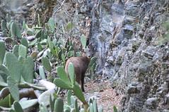 山羌很膽小。(圖片來源:林務局)