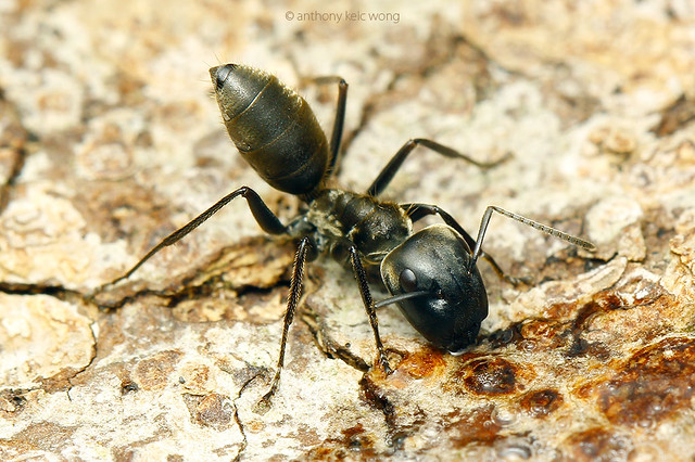 How to Get Rid of Pavement Ants  Stop The Fleas