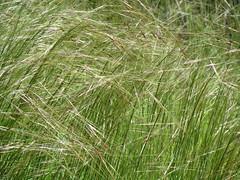 prairie, chrysopogon zizanioides, herb, meadow, grassland,