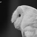 Black & White Barn Owl