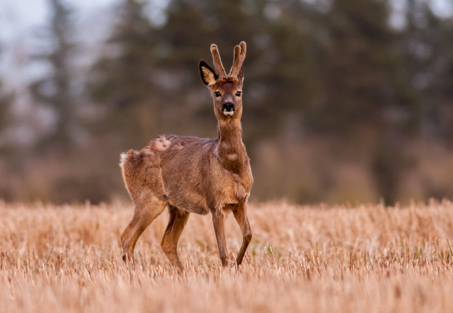 Shedding roe deer buck