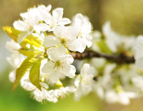 Alles weiß: Kirschblüte in Neckarhausen
