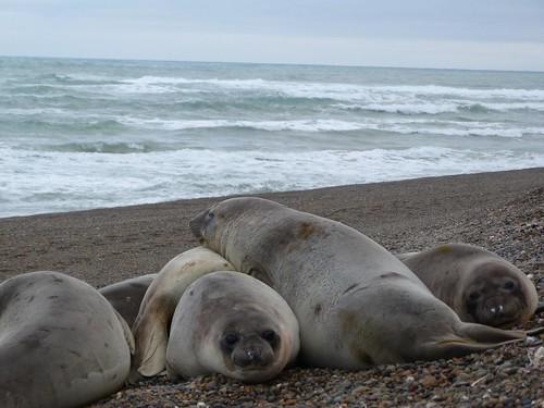 Elefantes marinos en Punta Ninfas (Patagonia, Argentina)