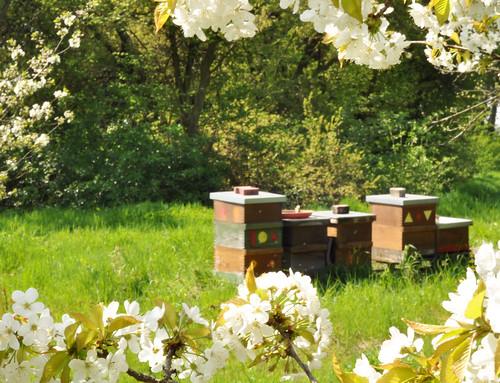 Meine Bienen im Kirschblütenrausch