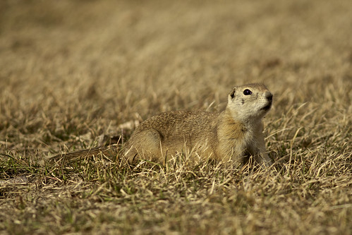 125-365 Project - Prairie Dog