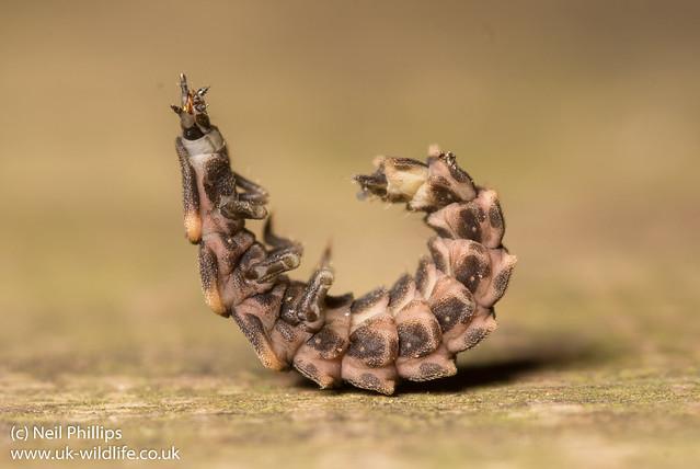 Glow worm larva Lampyris noctiluca-11