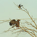 Small photo of Snail Kite Harassed by Mocker