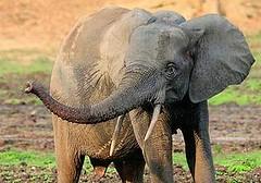 Dzanga Bai保護區的一頭母森林象,攝於2013年1月(圖片由Carlos Drews/WWF-佳能提供)。