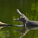 Gator Yawning by Birdwatcher 1406(Bill Eaton)