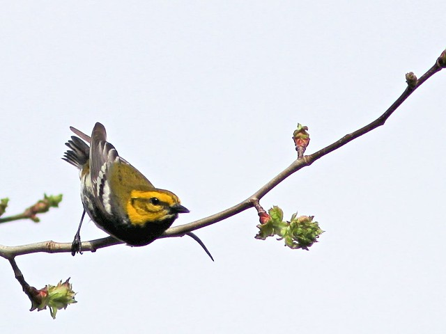 Black-throated Green Warbler 20130430