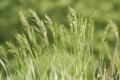 new-grassheads