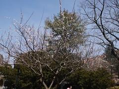 火, 2013-04-09 13:13 - ブルックリン植物園