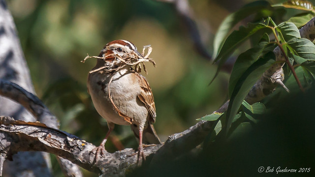 Lark Sparrow with nesting materials