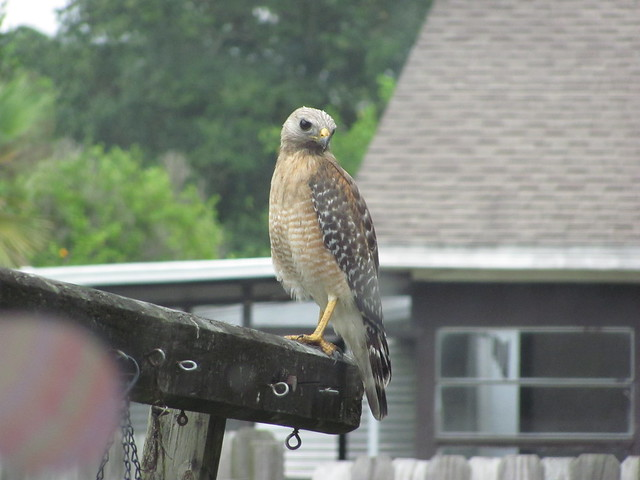 Red Shouldered Hawk at my window 01