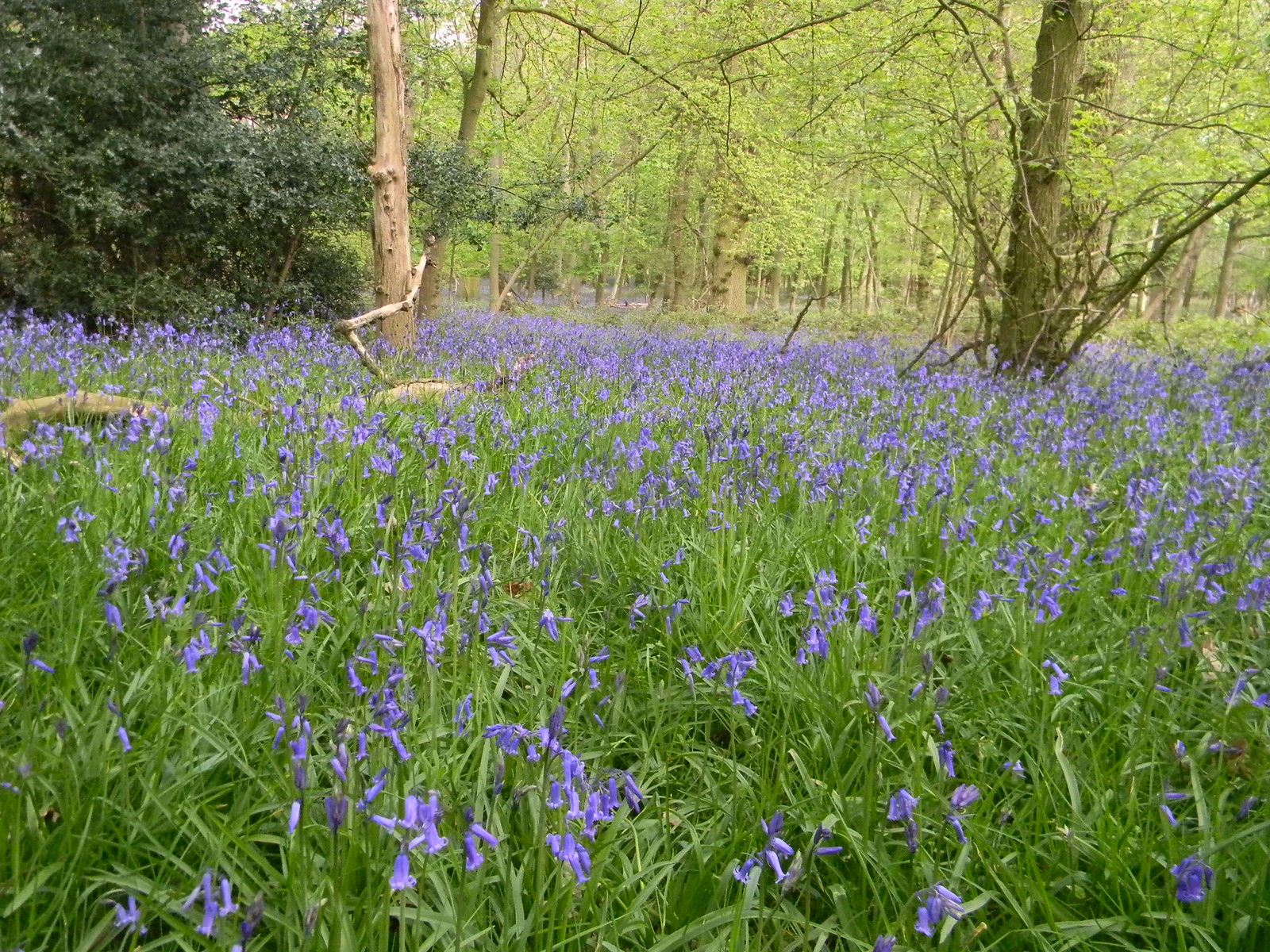 Bluebells, High Wood Shiplake to Henley