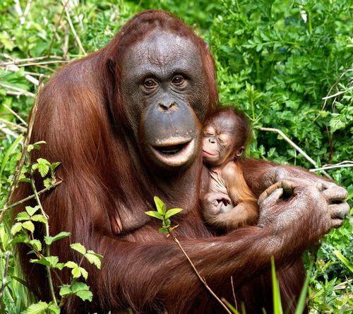 Orangutan Mali and Baby