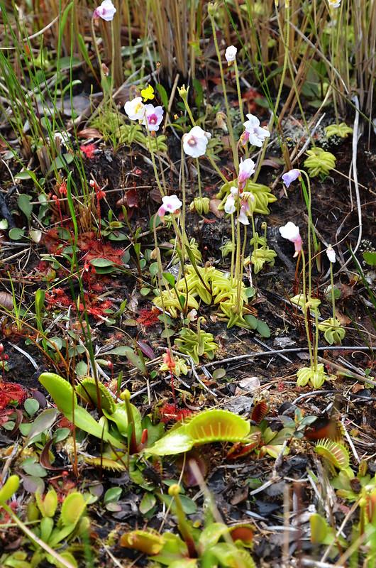 Dionaea muscipula Drosera capilaris, Pinguicula pumila