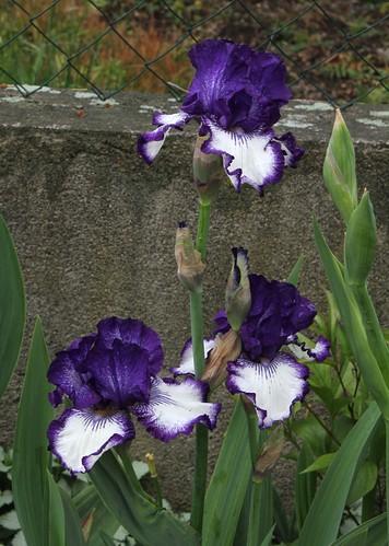 Nos Iris : floraisons 2012 8989334724_15cc43ed1b