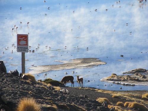 Le Sud Lipez: la Laguna Colorada et ses lamas