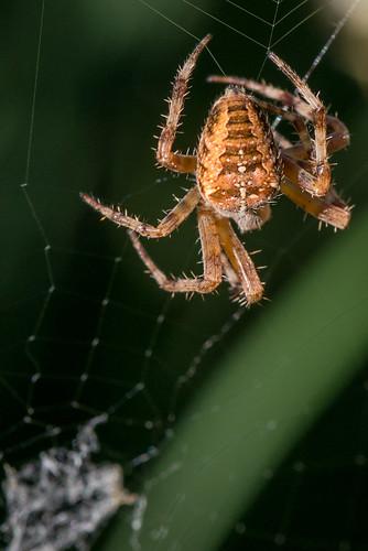 macro araignée araneusdiadematus beaufort nordpasdecalaispicardie france fr spider