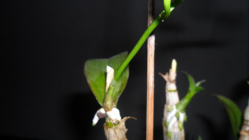 Dendro - phale forumul-florilor - Pagina 5 8634229032_fae4fde7ab_b