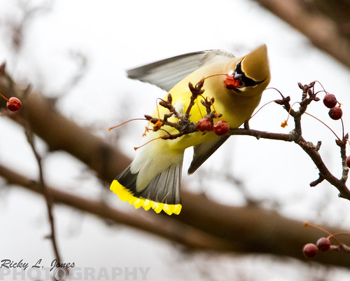 Cedar Waxwing by Ricky L. Jones Photography