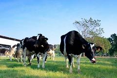 牧場的牛。(圖片來源:環景網)