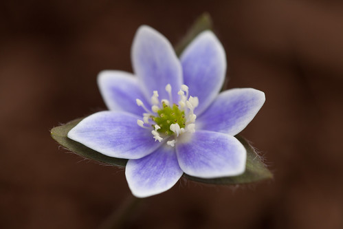 Blue Hepatica by conniee4 aka Connie Etter