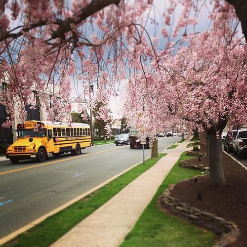 Cherry Blossom. Day_029