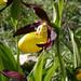 Lady's Slipper Orchid (Dawn Balmer)