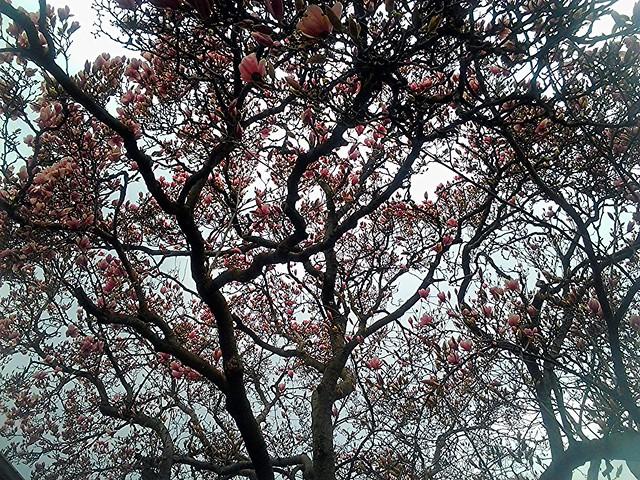 magnolia tree 2013