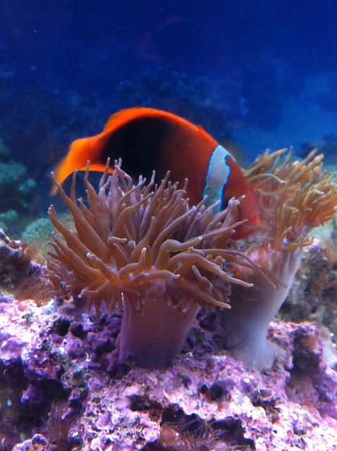 Clownfish and Sea Anemone   Flickr - Photo Sharing!