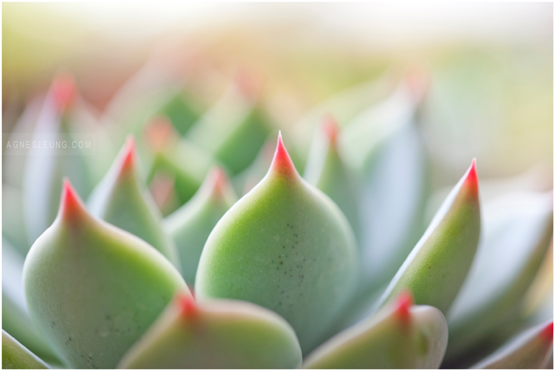 photography-flower-succulent
