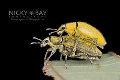 Weevils (Curculionidae) - DSC_0874