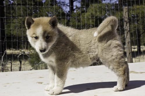 Ike-Kilbe-Pup2-Male(Day 40)-2