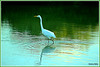 The Great Egret.
