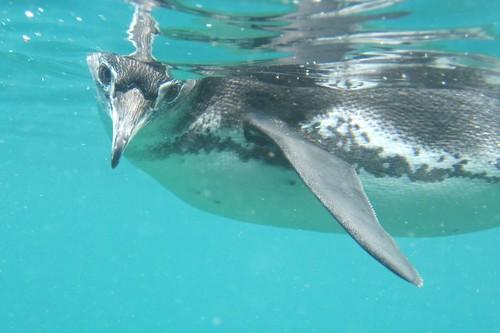 Galapagos penguin by Sherrie Liafsha