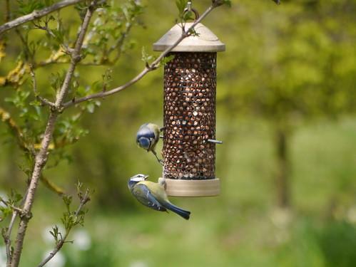 Blue tits feeding